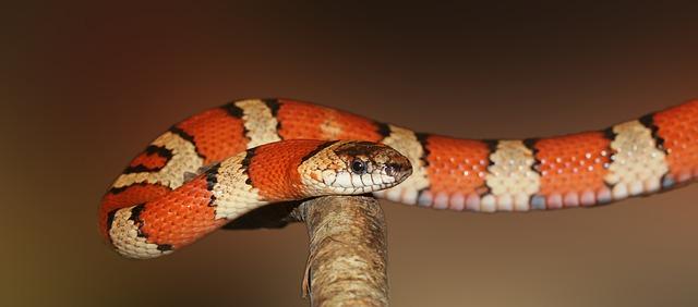 נחש צפע קטן האם הוא מסוכן כמו הנחש הבוגר?