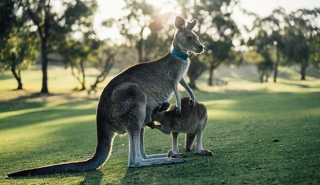 אוסטרליה- לא רק קנגורו